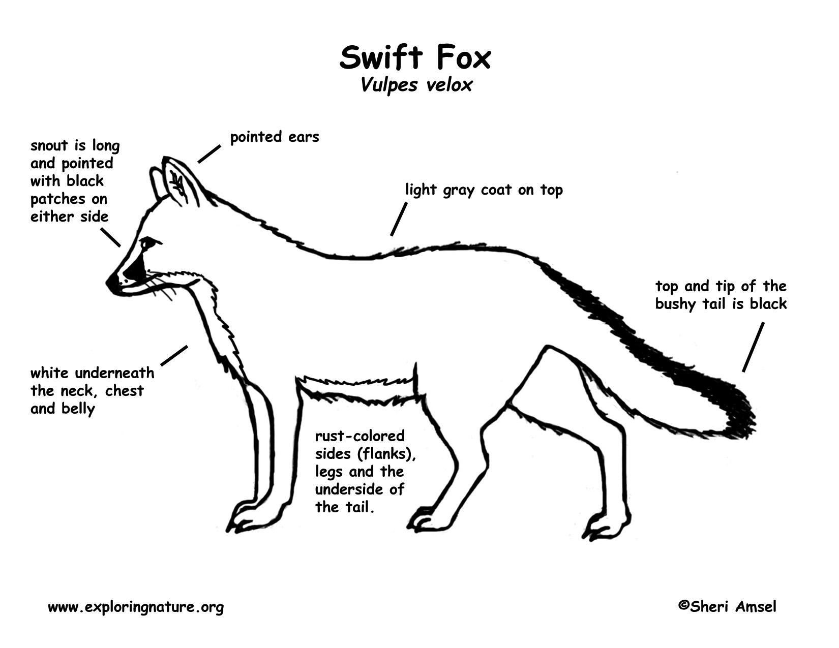 Diagram Red Fox Organ Diagram Full Version Hd Quality