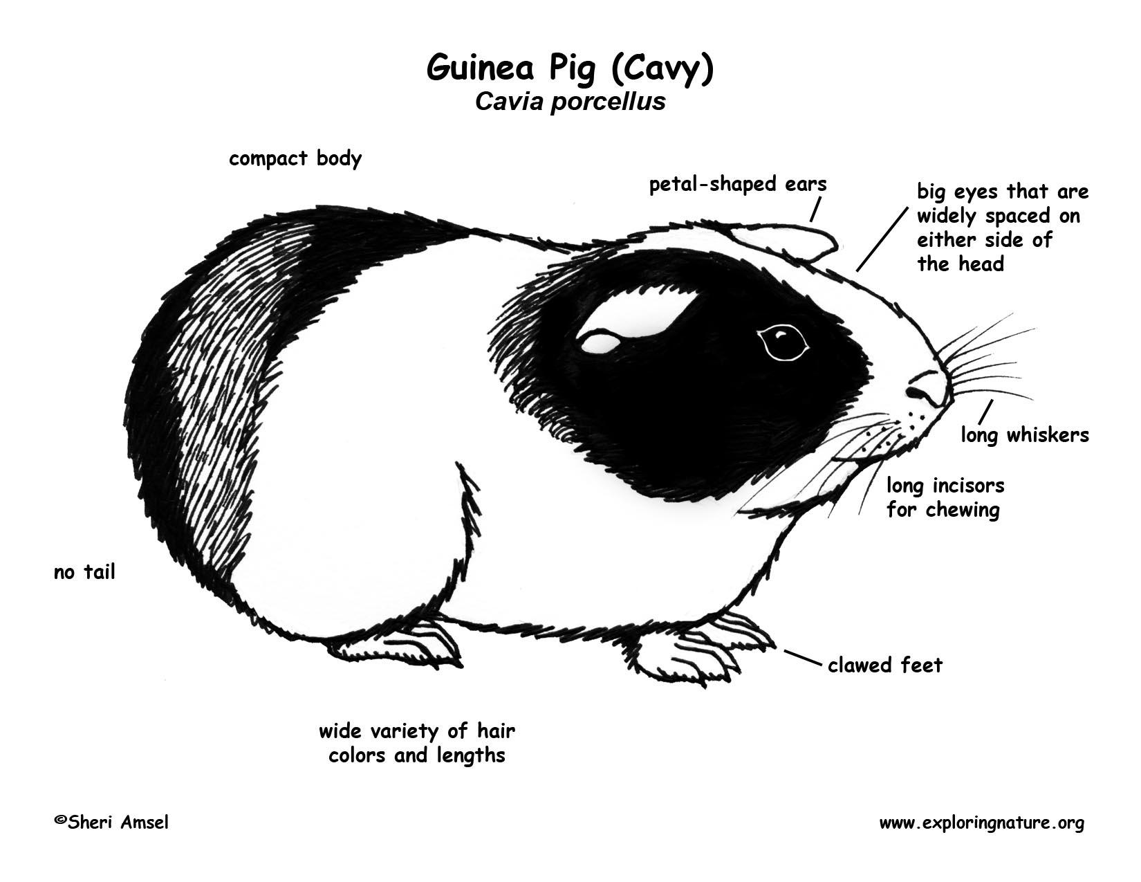 Guinea Pig Cavy