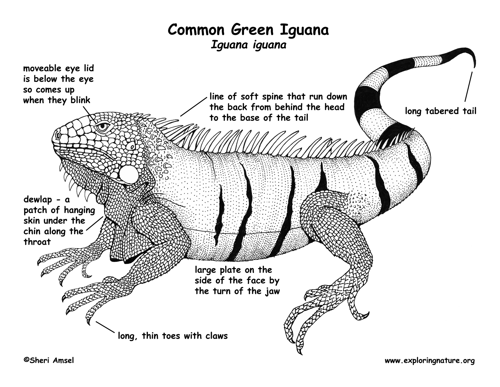 Lizard Anatomy Diagram