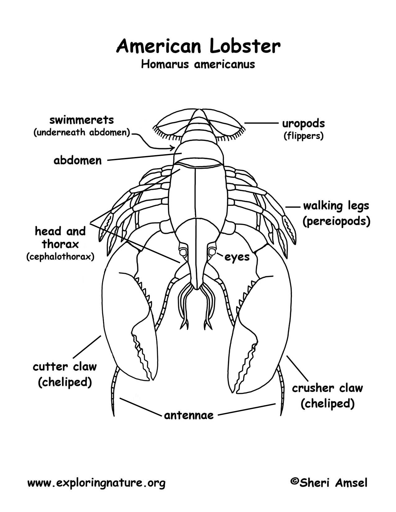 Lobster Skeleton Diagram