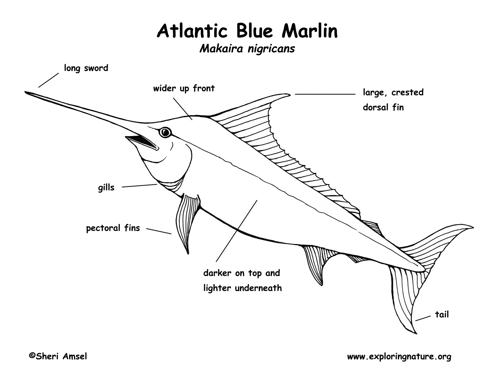 Marlin Atlantic Blue