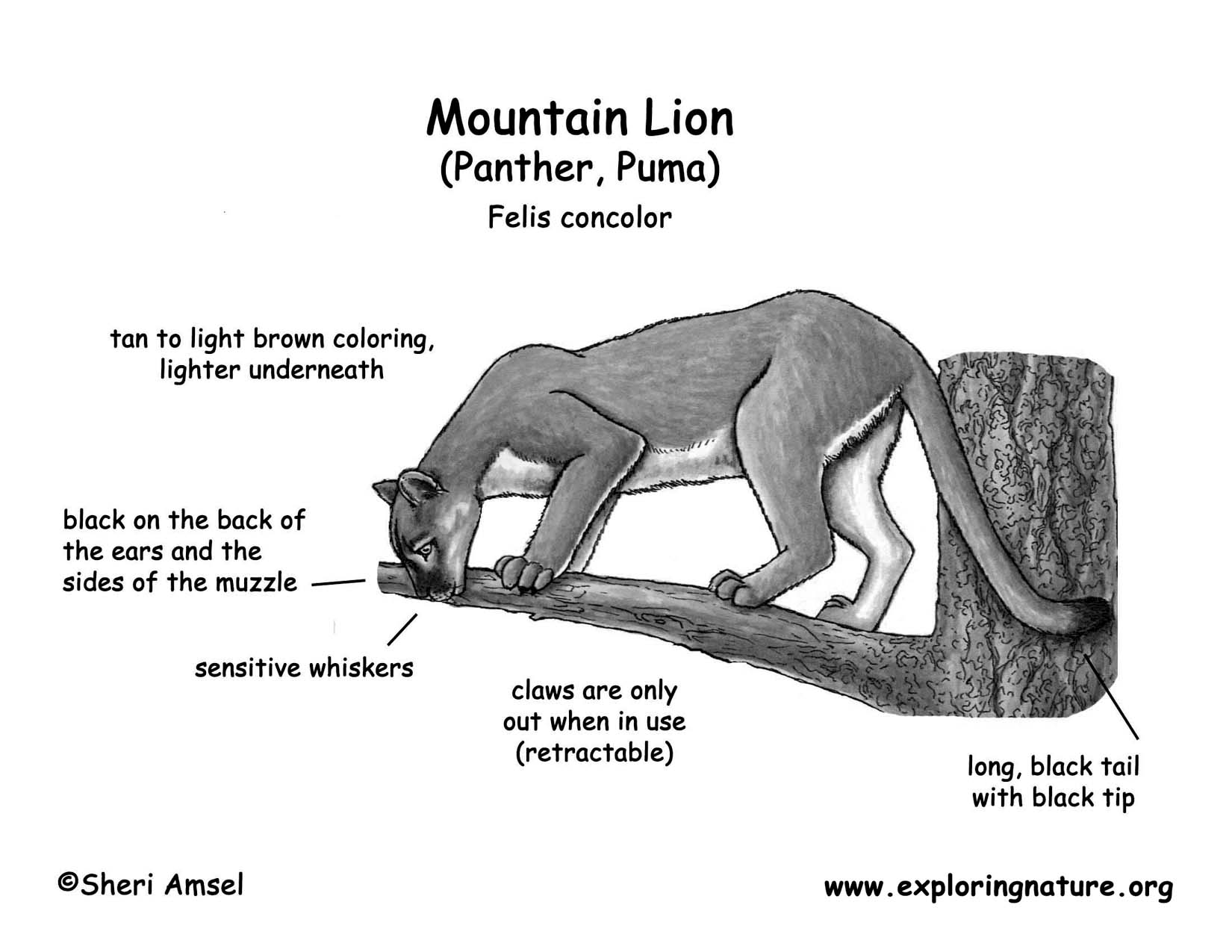 Mountain Lion Panther Puma Cougar Catamount