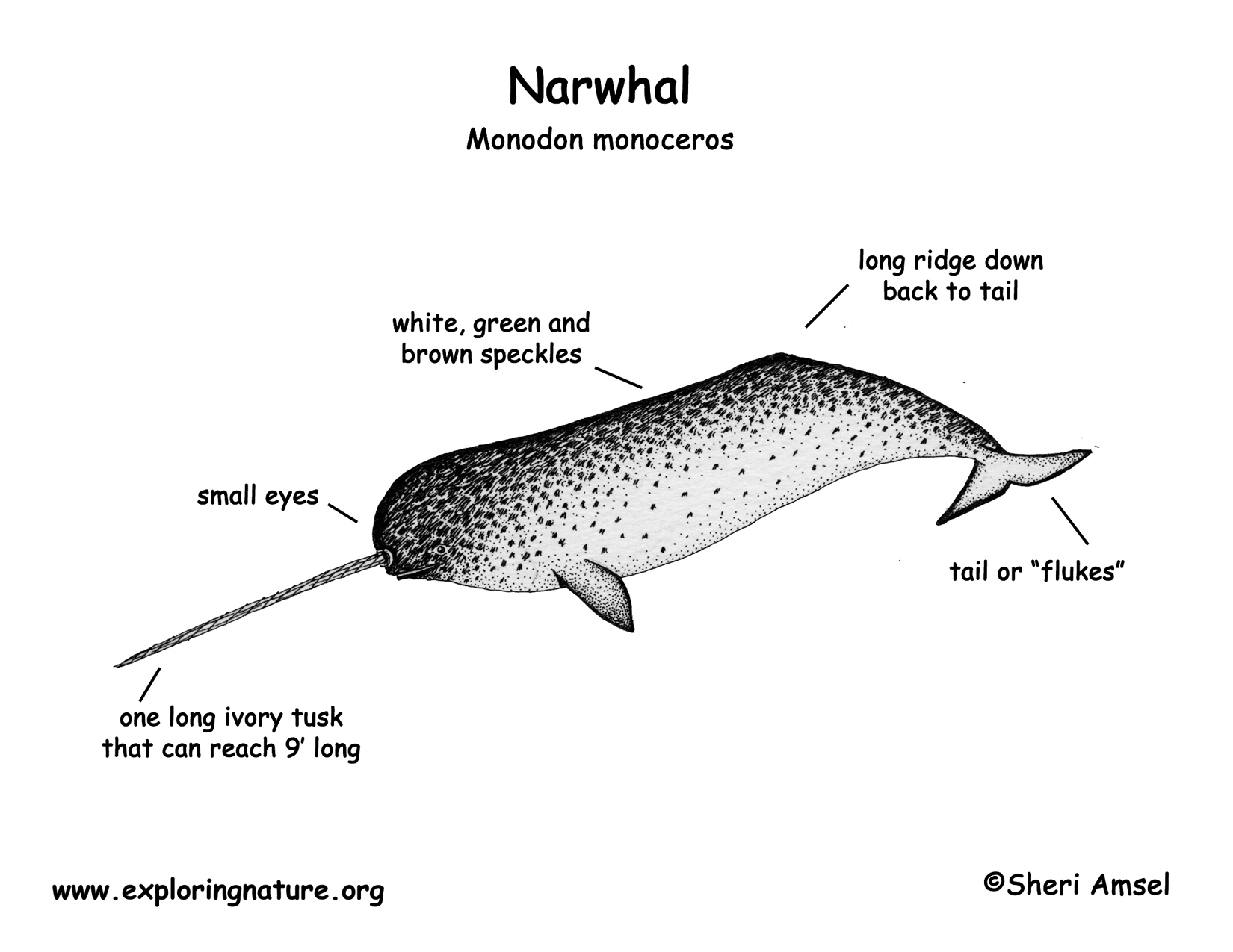Narwhal Anatomy Diagram
