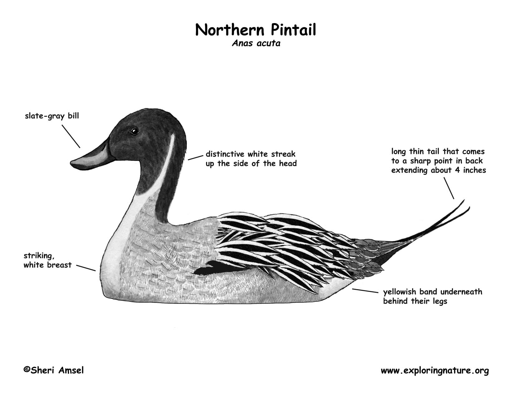 Duck Northern Pintail