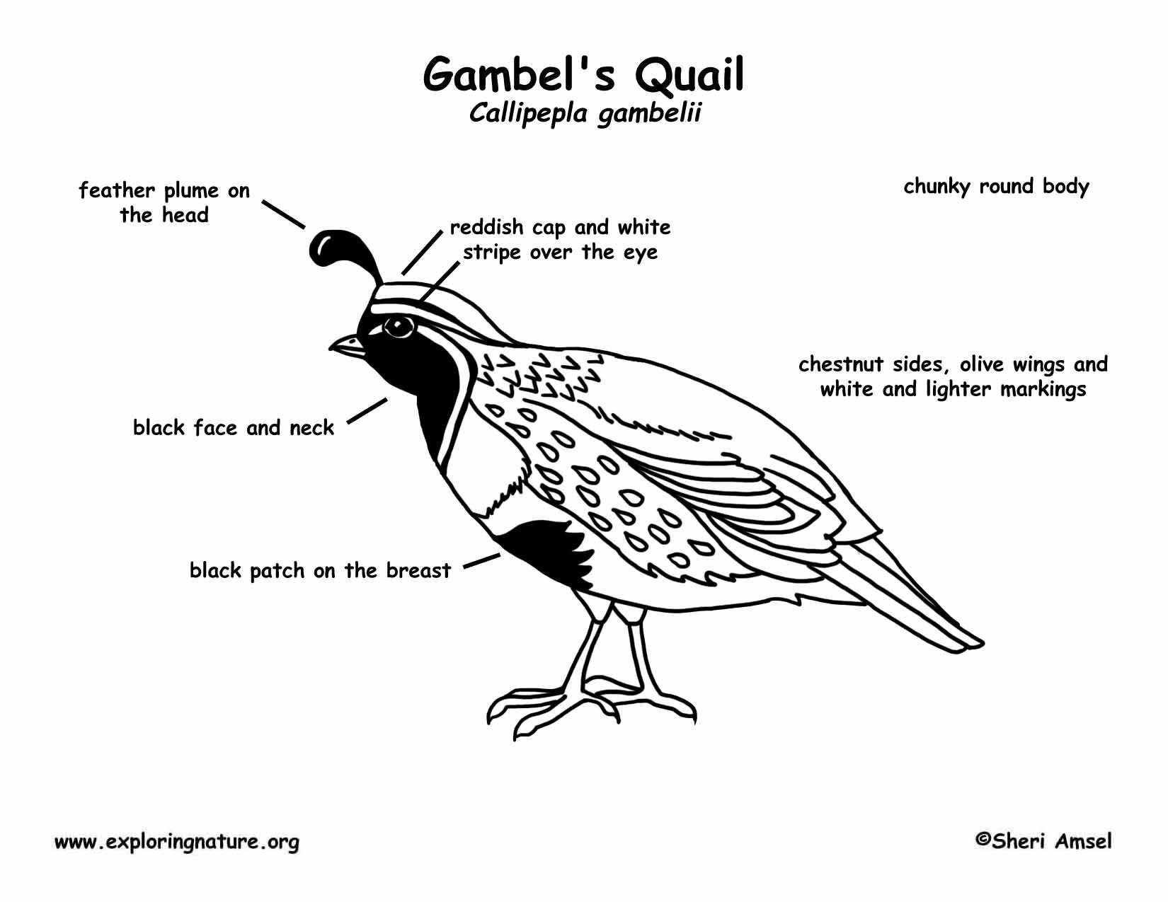 Quail Gambel S