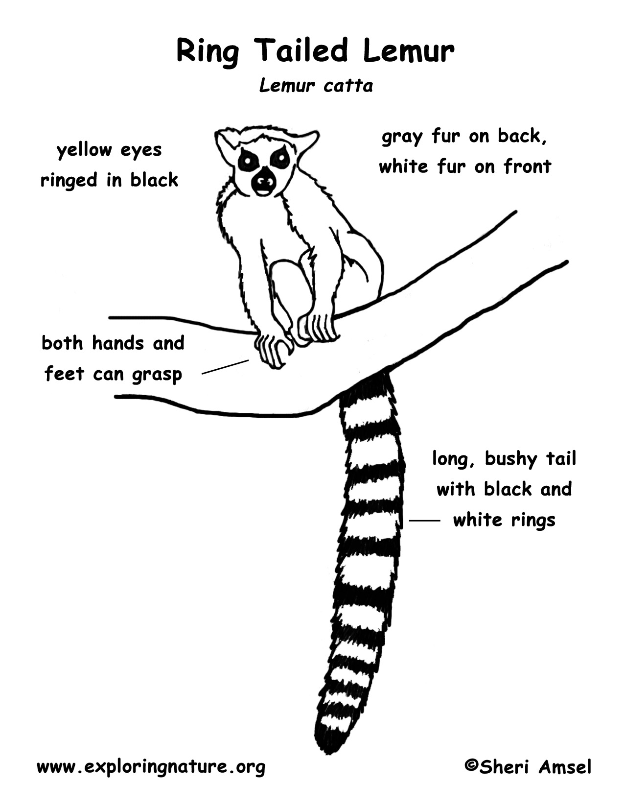 Lemur Ring Tailed