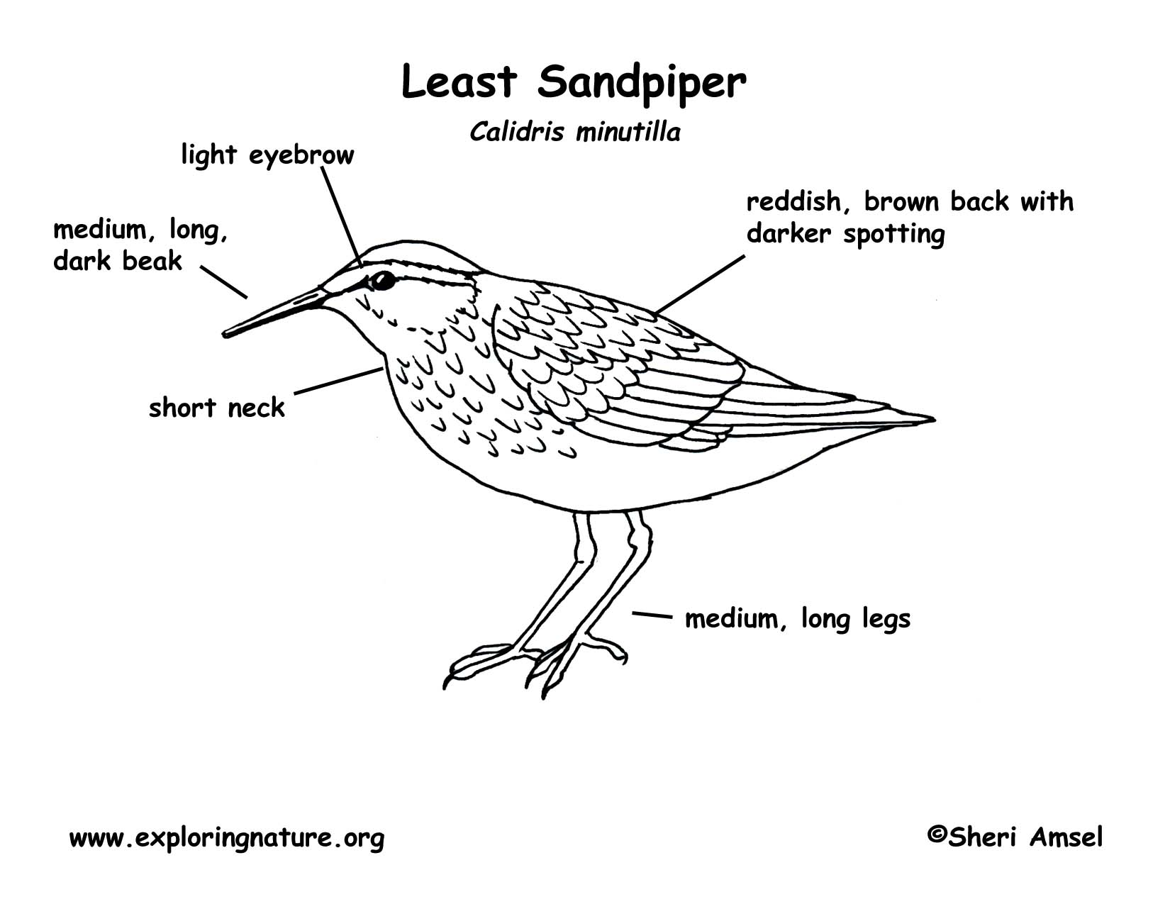 Sandpiper Least
