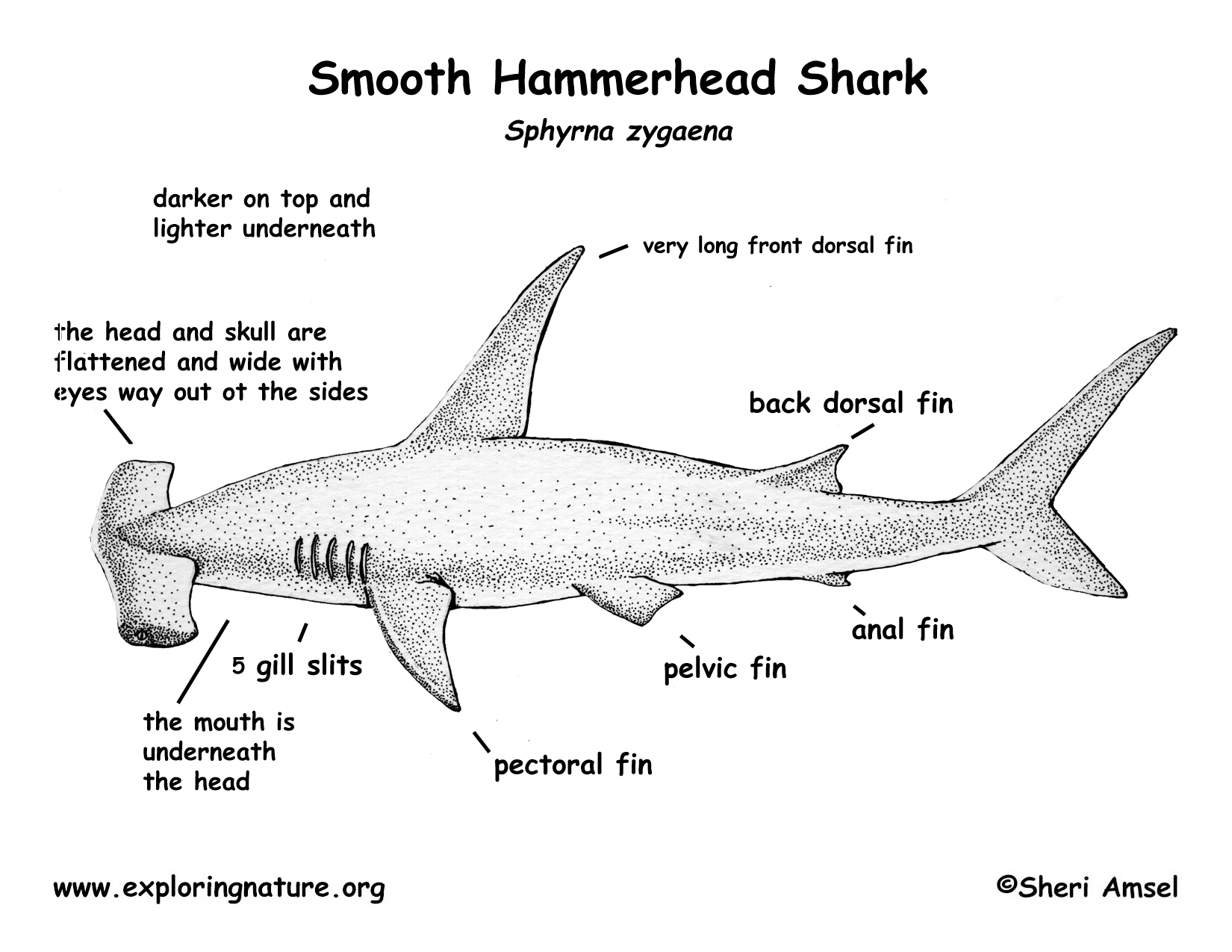 The Gallery For Gt Hammerhead Shark Diagram