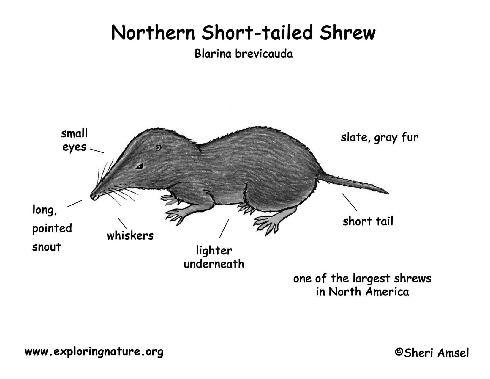 Shrew