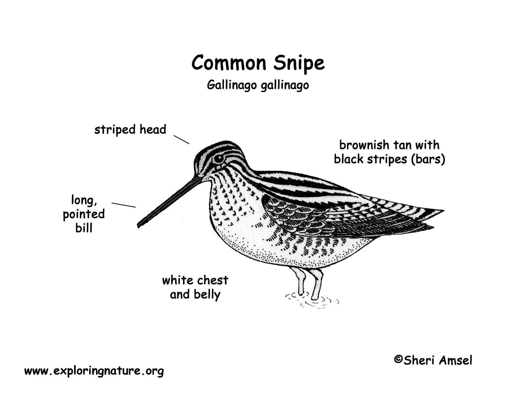 Snipe Common