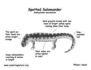 Salamander Diagram