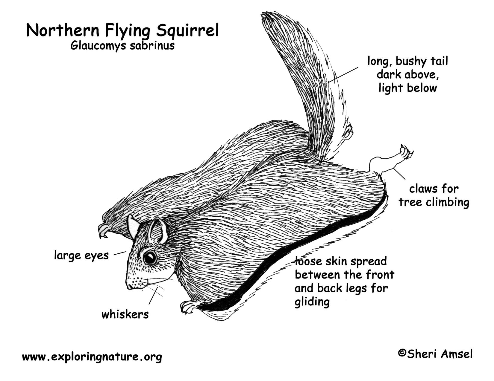 Squirrel Northern Flying