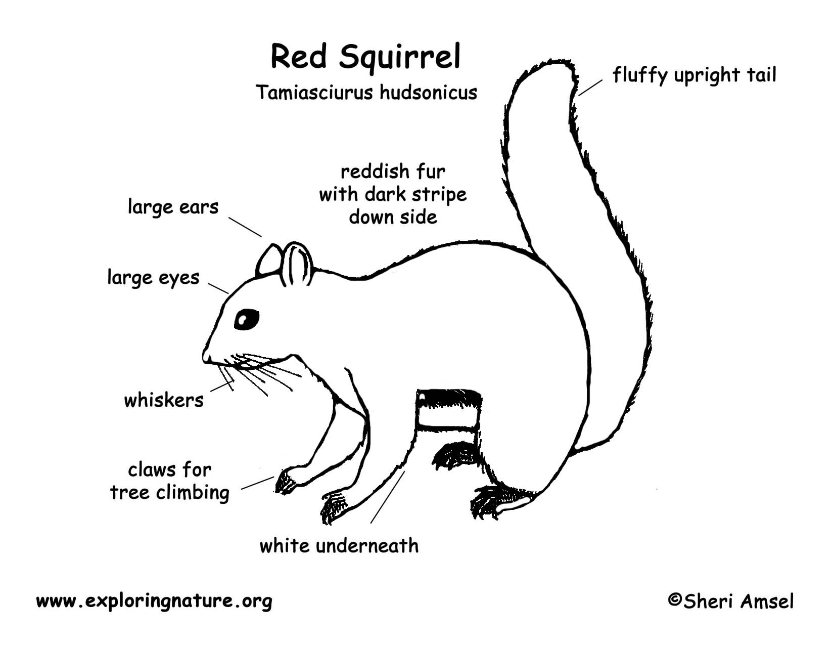 Squirrel Red