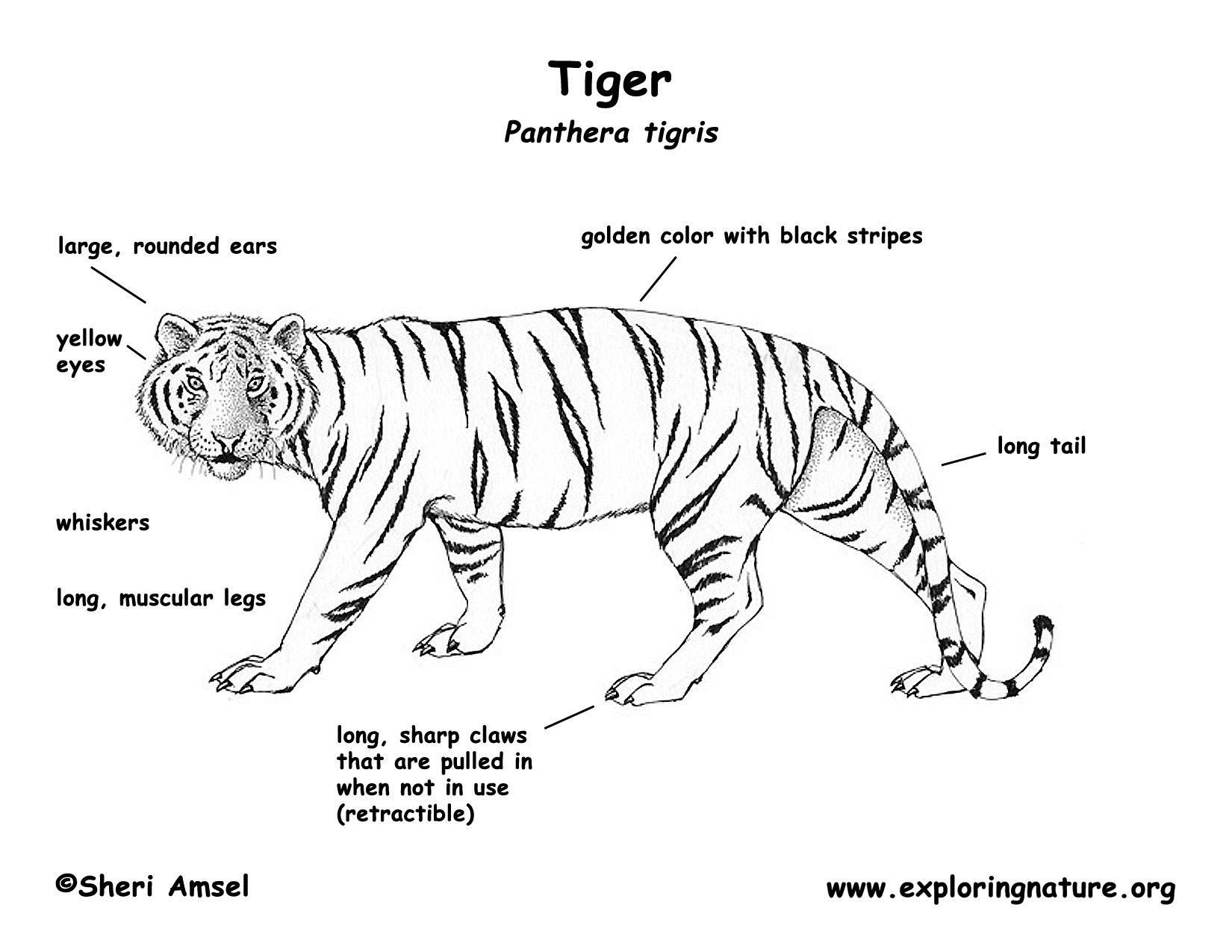 Tiger Teeth Diagram
