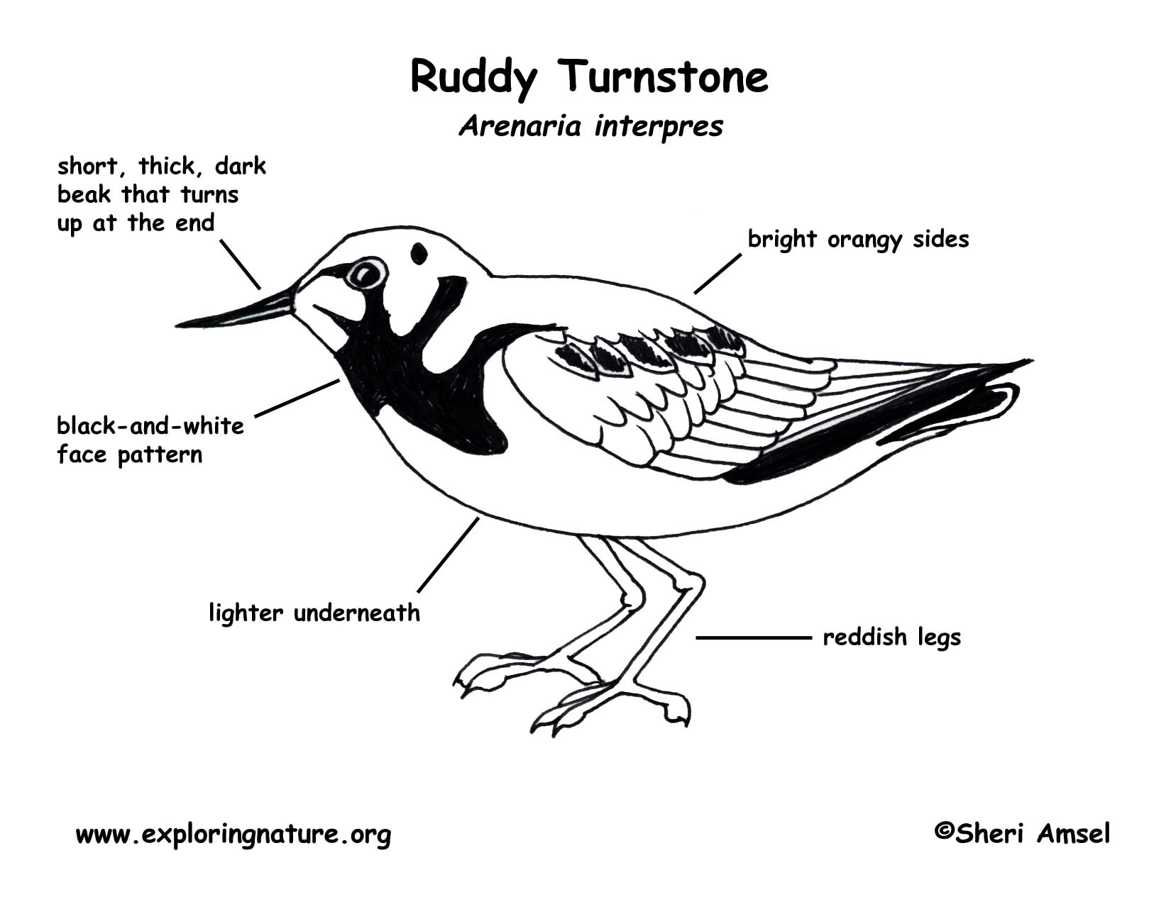 Turnstone Ruddy