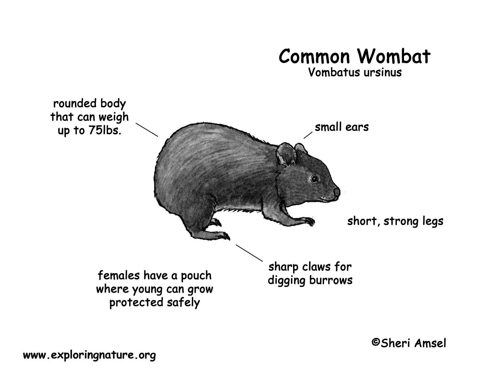 Wombat Common