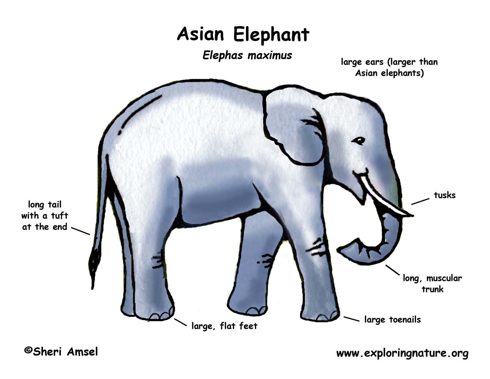 Elephant Asian Or Indian Elephant