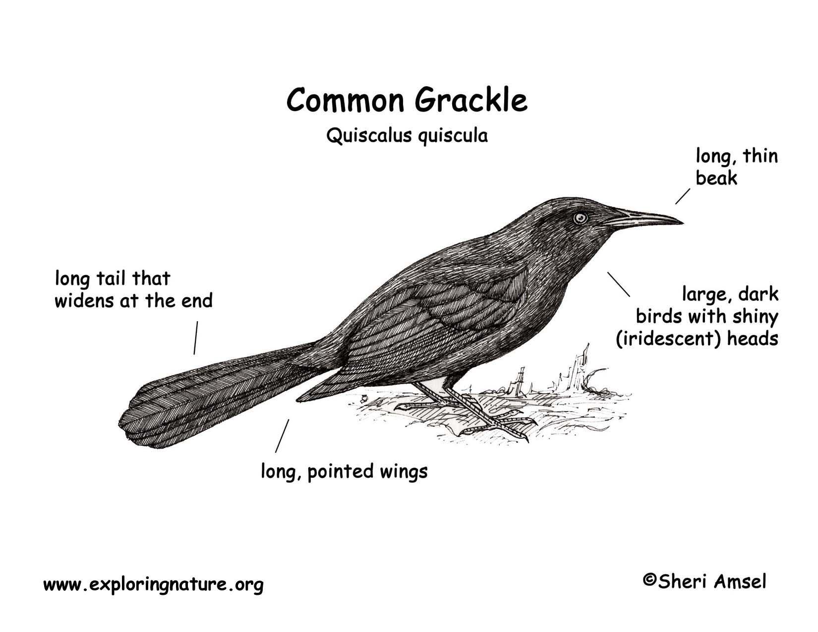 Grackle Common