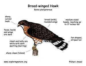 Hawk (Broadwinged)