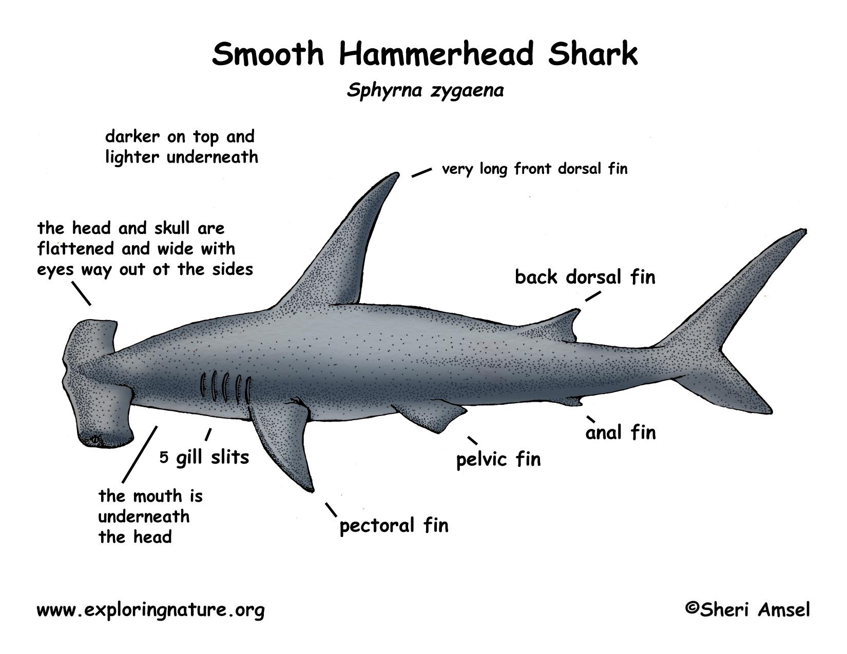 Labeled Shark Anatomy Diagram