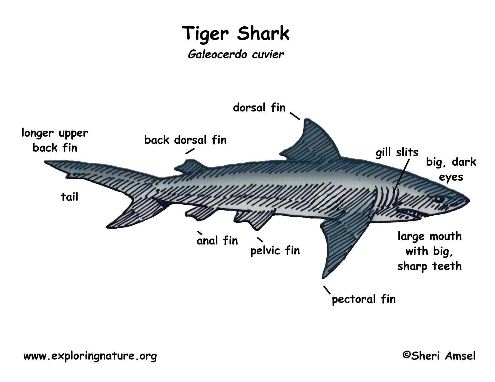 Shark Tiger