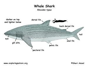 Shark (Whale)