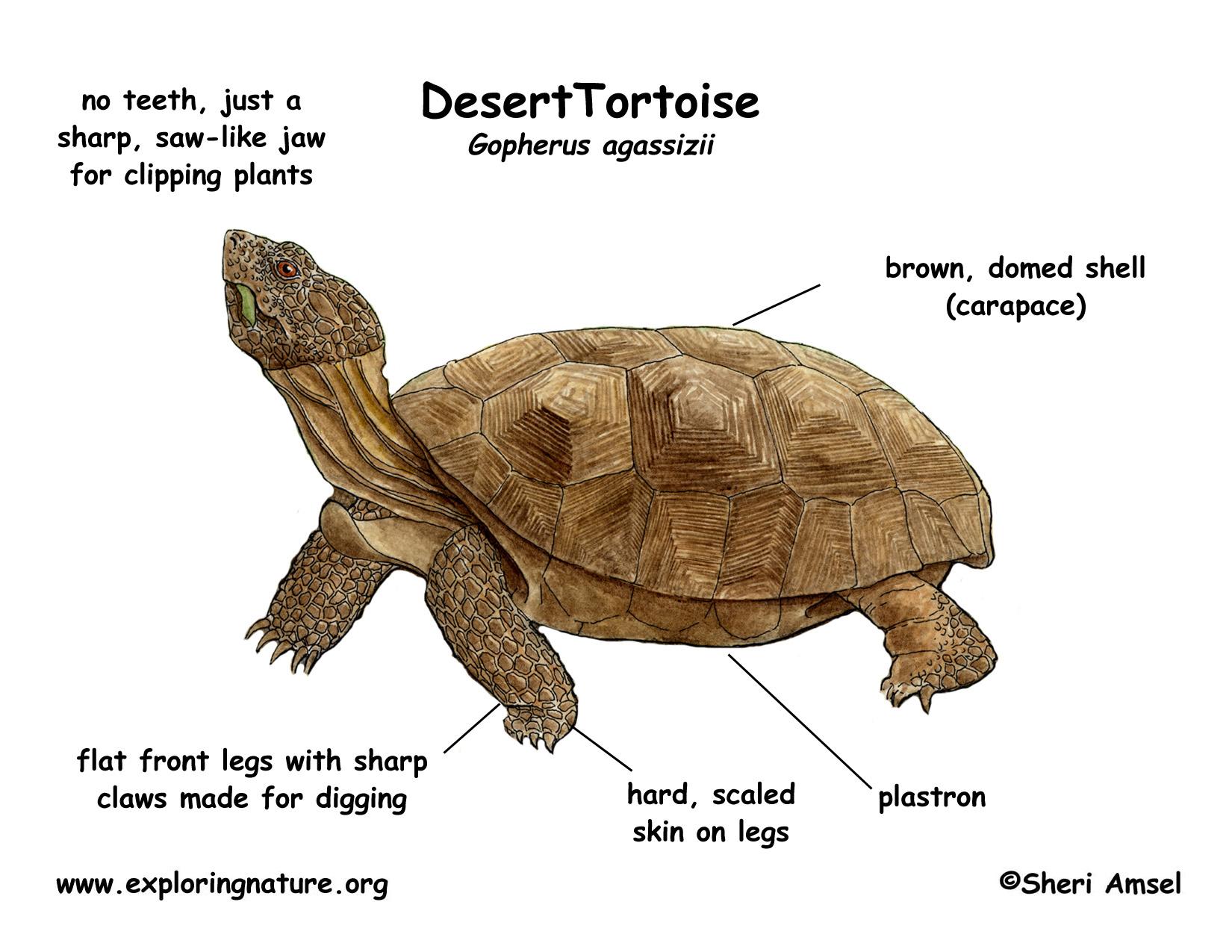 Tortoise Desert