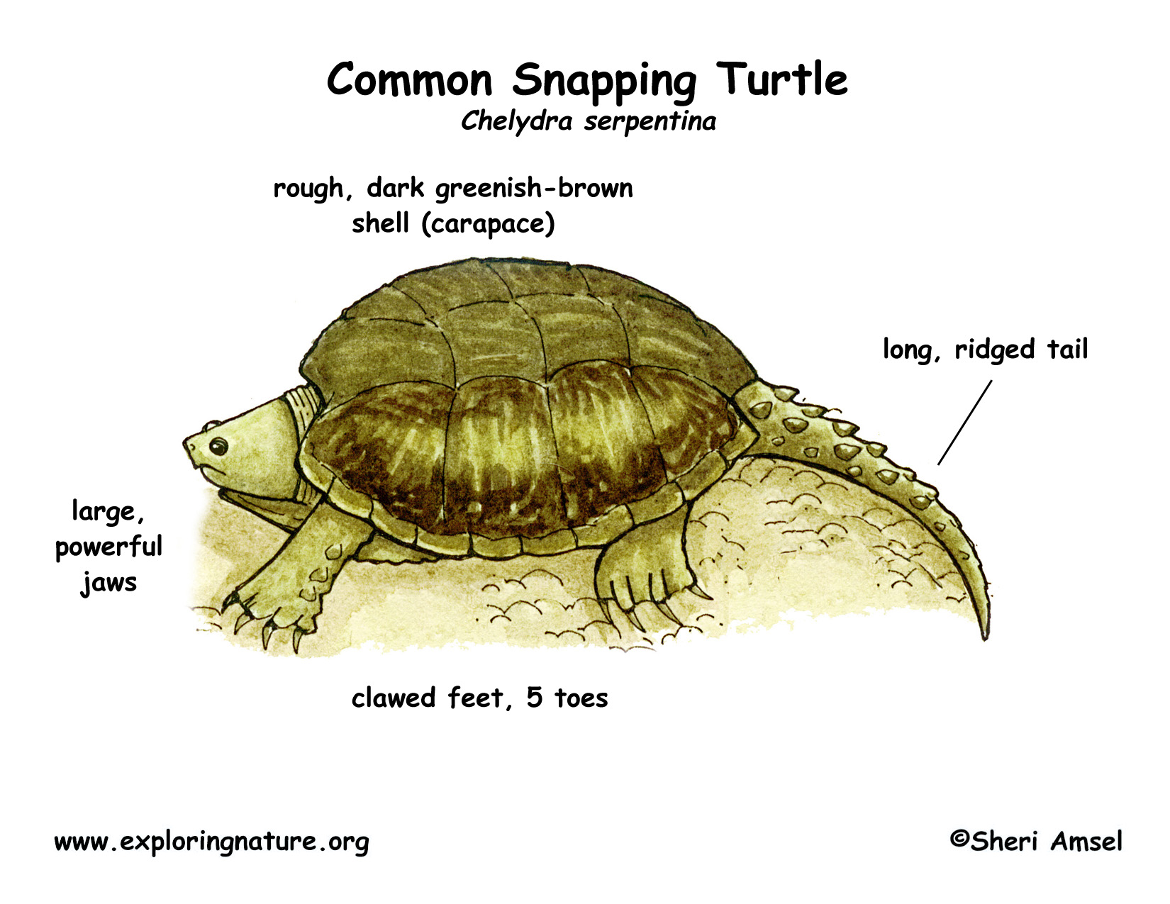 Turtle Common Snapping