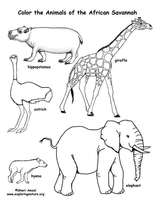 african elephant animals gt elephant free printable