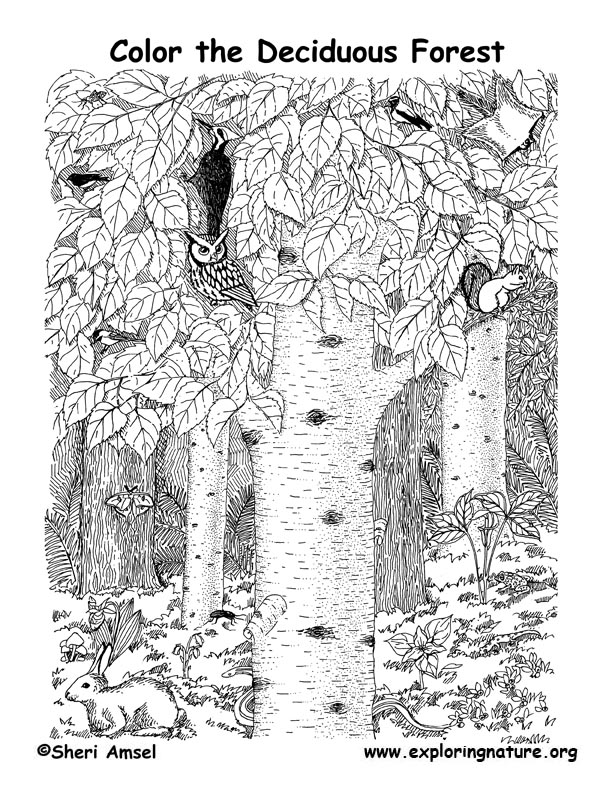 deciduous forest coloring page