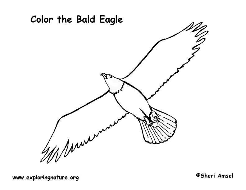 eagle bald coloring page