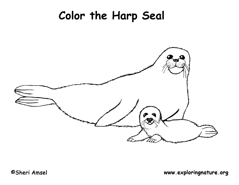 harp seal drawing seal harp coloring page