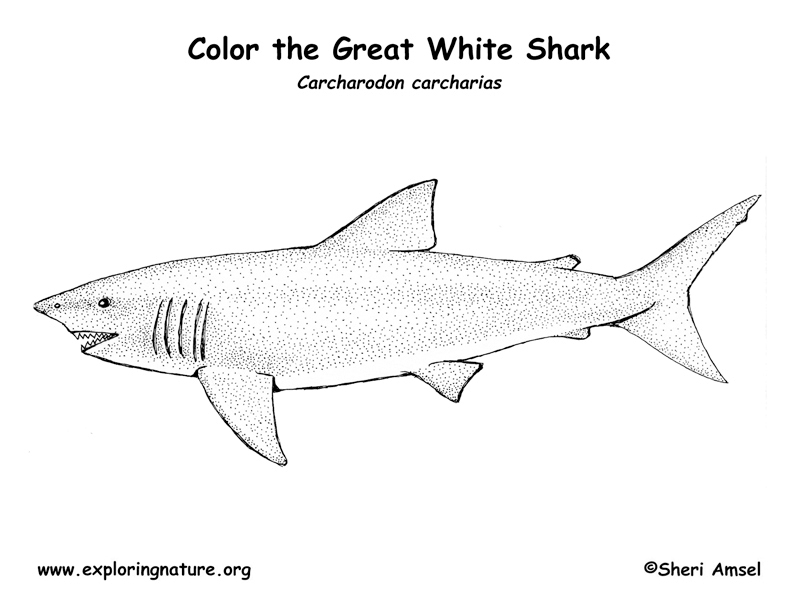 shark great white coloring page