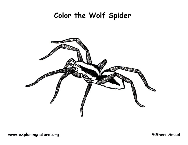 pics photos designs spider web coloring page wolf