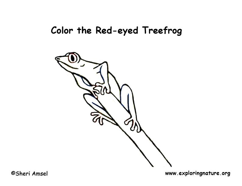 rainforest red eyed treefrog treefrog