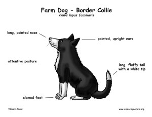 Farm Dog (Border Collie)