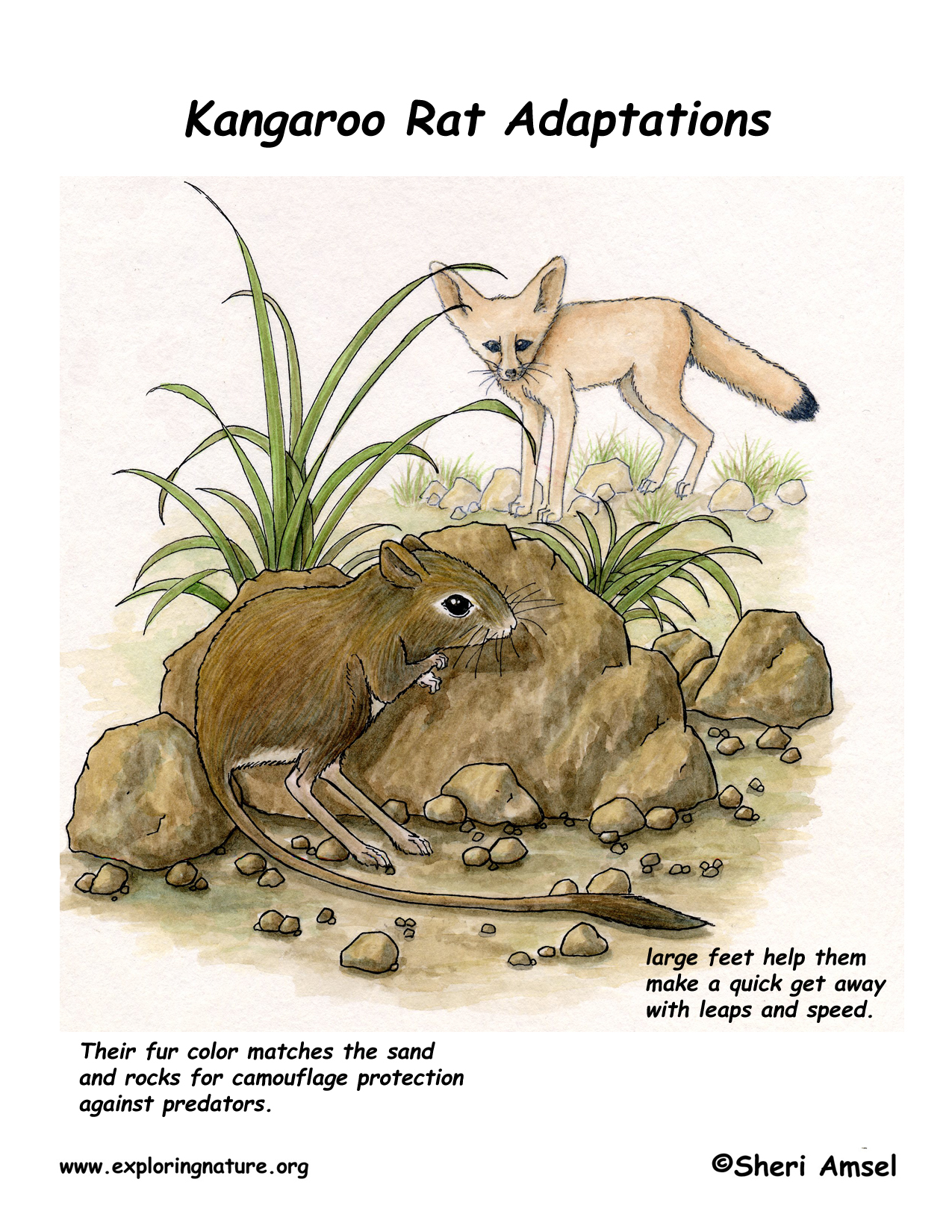 Adaptations Of The Kangaroo Rat