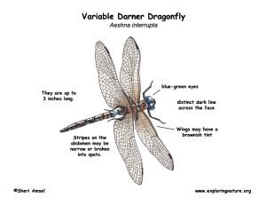 Dragonfly (Variable Darner)