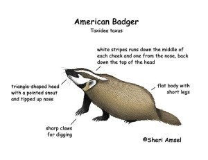 Badger (American)