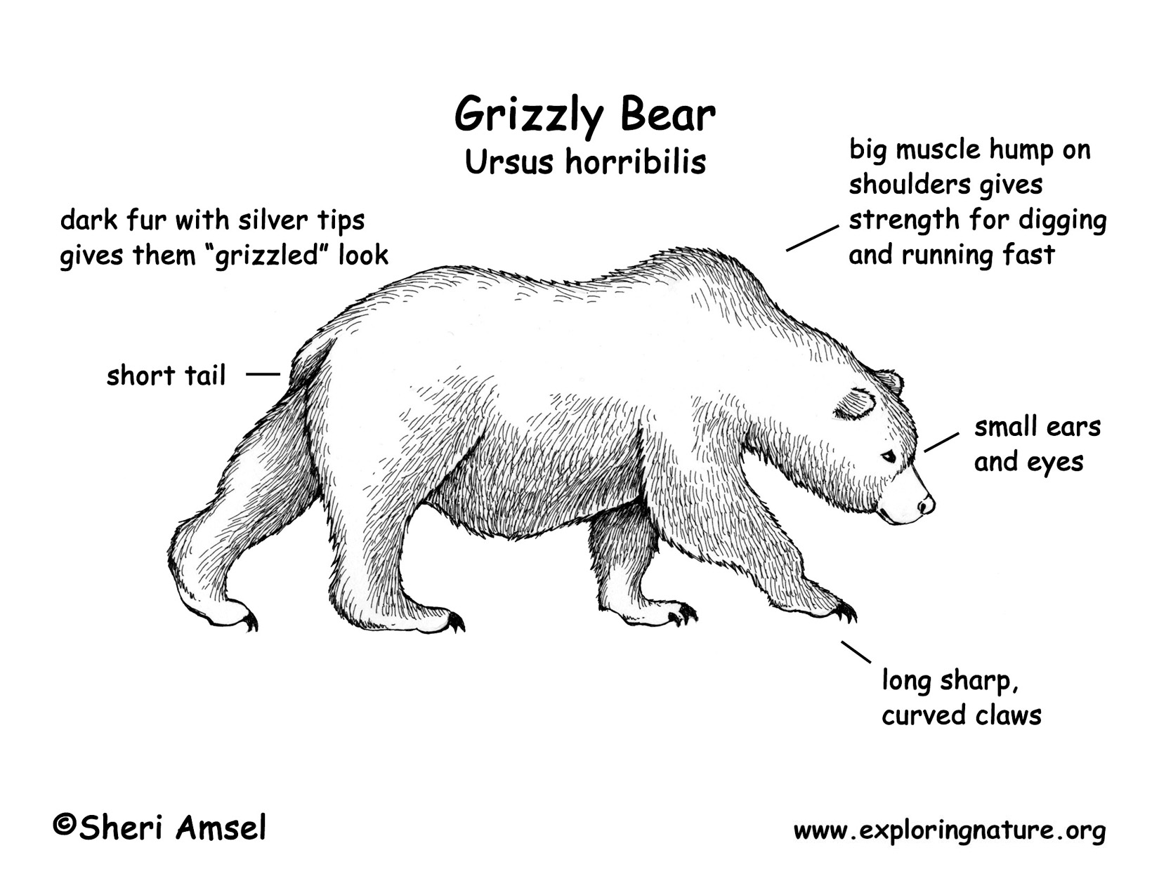Polar Bear Fur Diagram