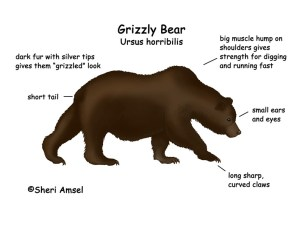 Bear (Grizzly)