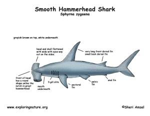 Shark (Smooth Hammerhead)