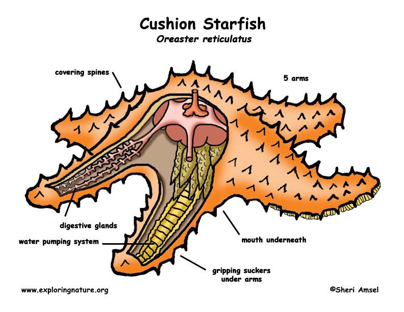 Phylum Enhinoderms | bioeleven