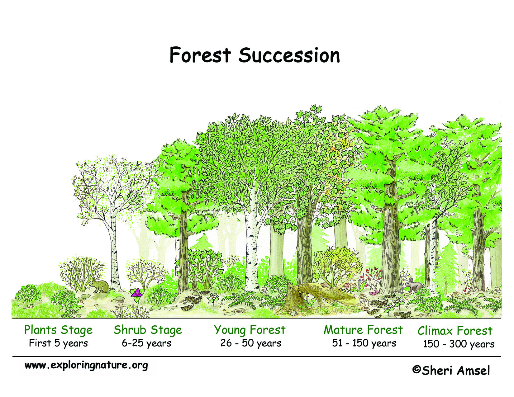 Succession In The Forest Poster