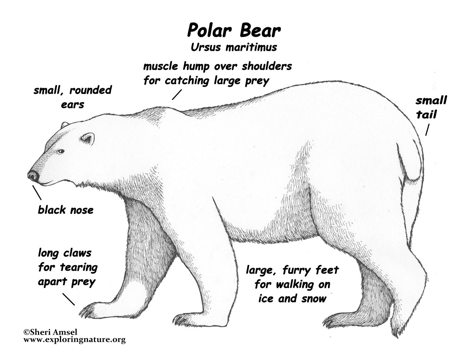 Polar Bear Internal Anatomy