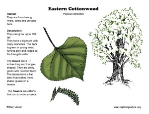 Cottonwood (Eastern)