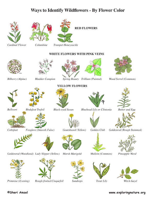 Yellow Flower Identification Chart