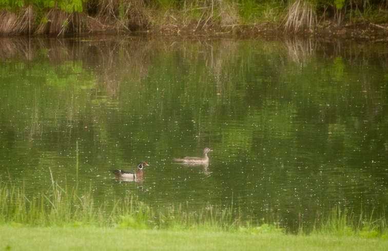 geese 2015 (19 of 19)