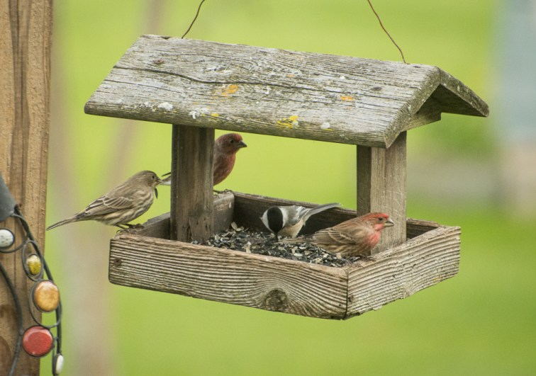 House finches and Chickadee