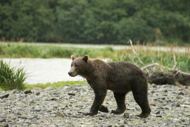 Brown Bear Gray Day (1)